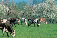 293-Vaches-pommiers.jpg