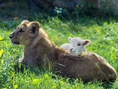 lion and sheep resized.jpg